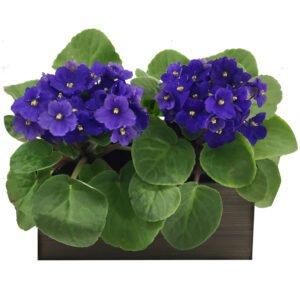 Decoração com Flores - Dupla de Violetas Roxas