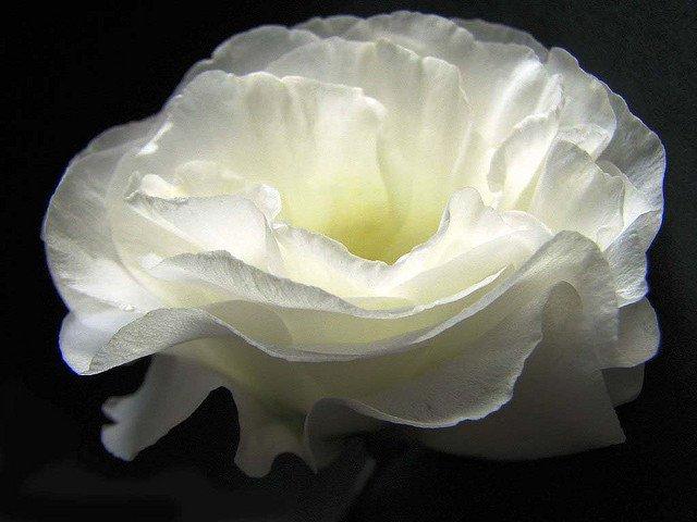 Flor de Lisianthus Branco