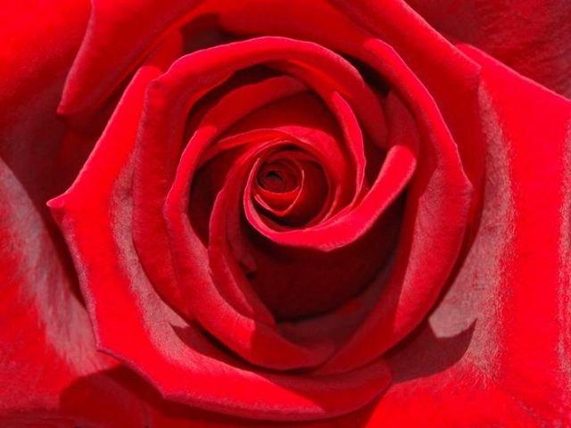 Resultado de imagem para Como Cuidar de Rosas Colombianas