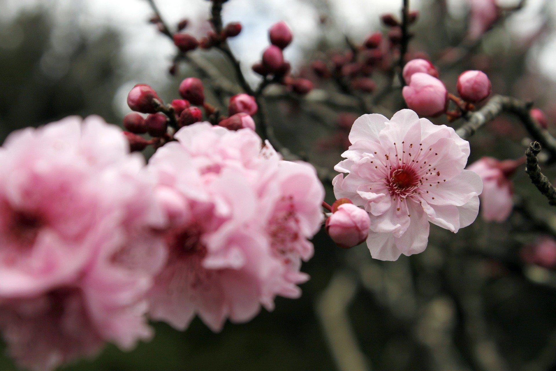 flor-de-cerejeira-giuliana-flores