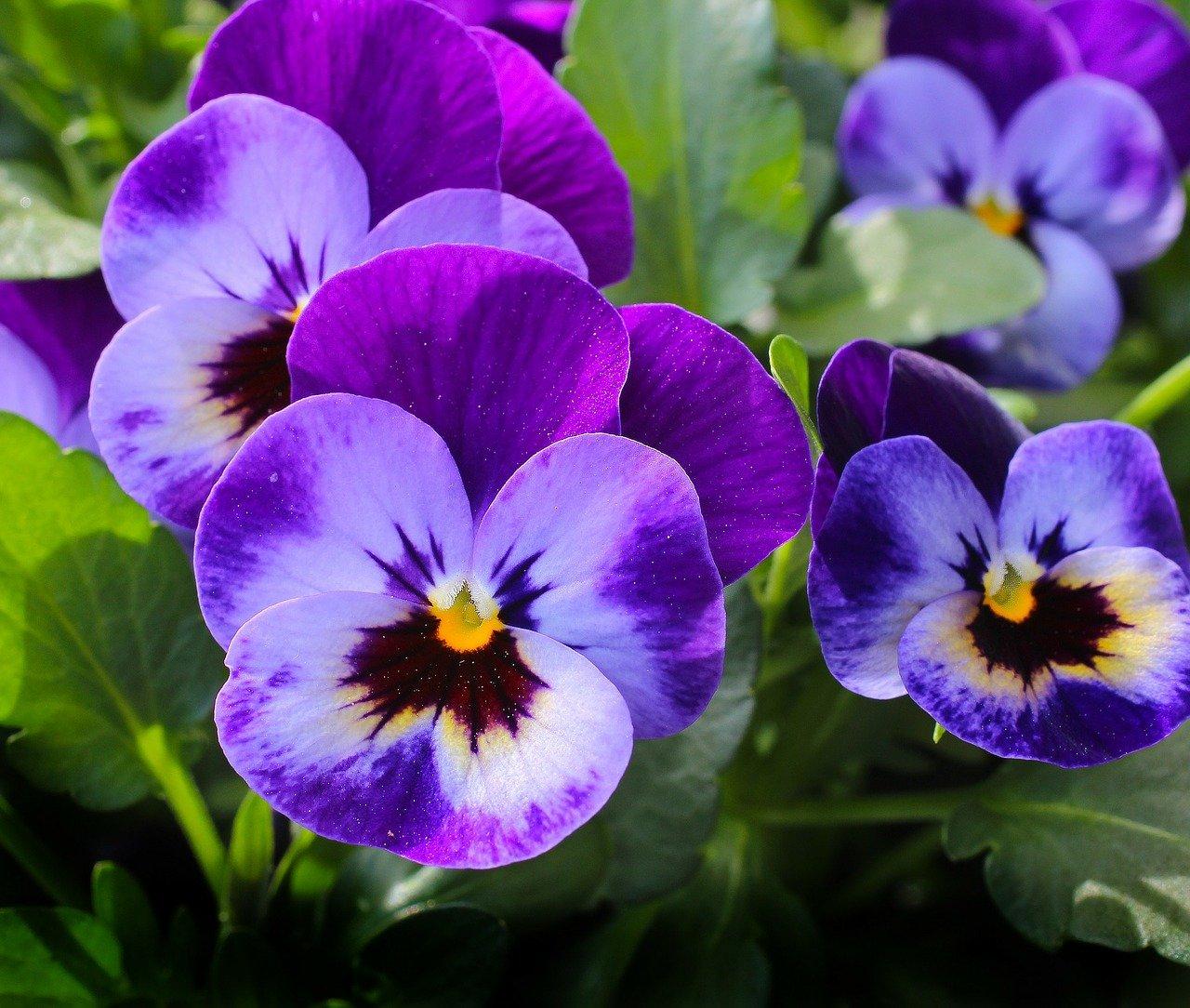 flor medicinal amor perfeito