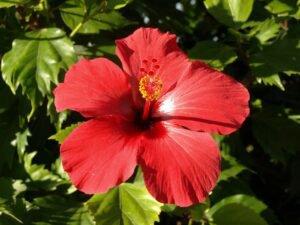 flor medicinal hibisco