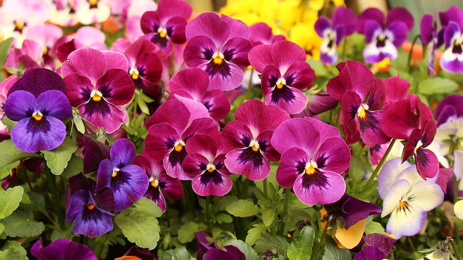 flores para jardim de inverno:Solid Color Pansies