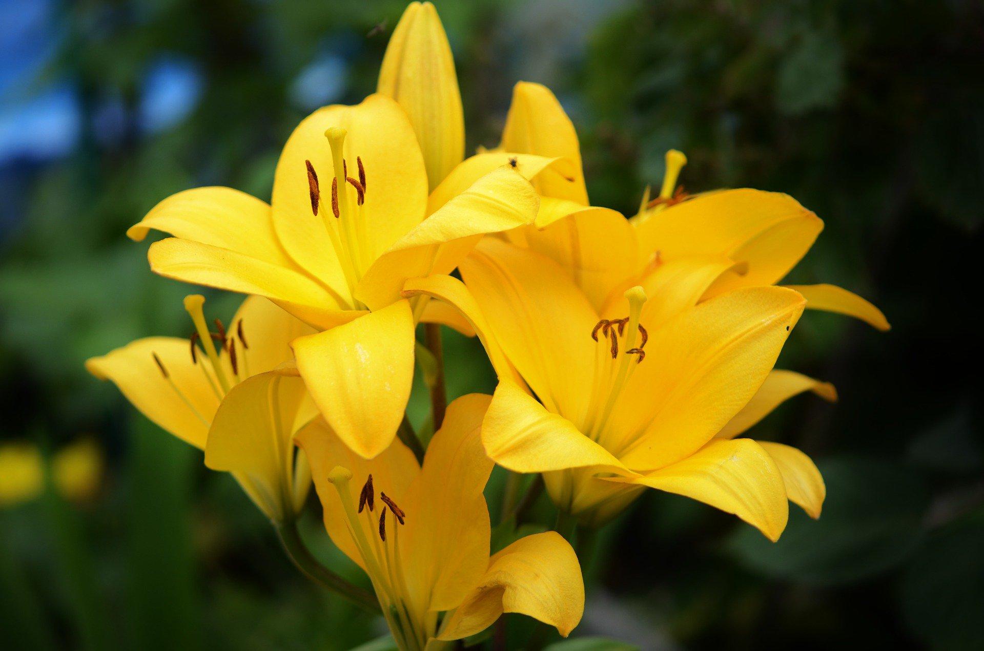 lirios-amarelos