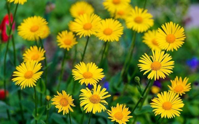 jardim rosas amarelas : jardim rosas amarelas:Margaridas – Conheça Mais sobre Estas Flores Encantadoras