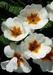 primulas-flores