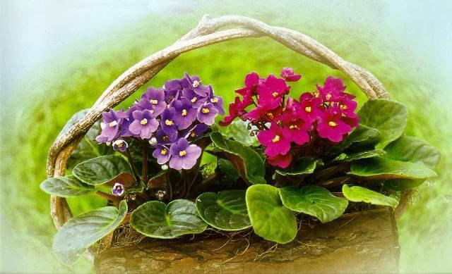 Arranjos de violetas