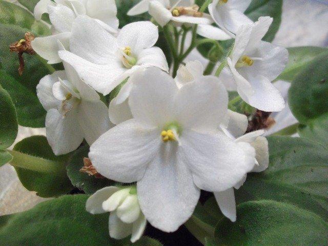 Violetas Brancas