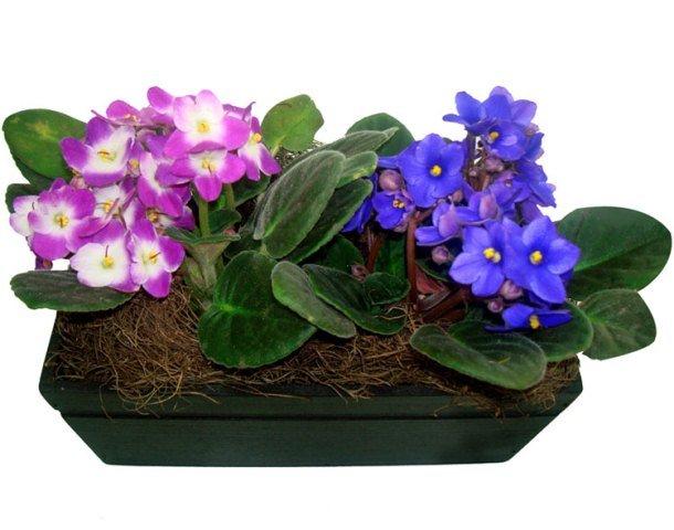Violetas plantadas