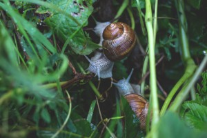 LESMAS E CARACOIS - pragas em seu jardim