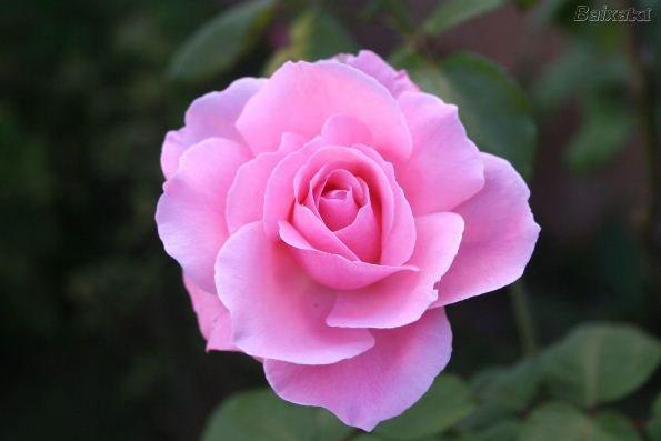UM JARDIM ASSIM cultivando rosas
