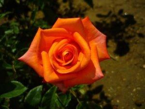 adubo-rosas