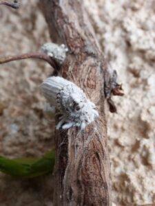 cochonilha - pragas em seu jardim