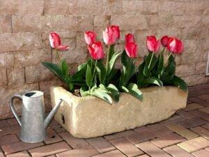 como-cultivar-tulipas
