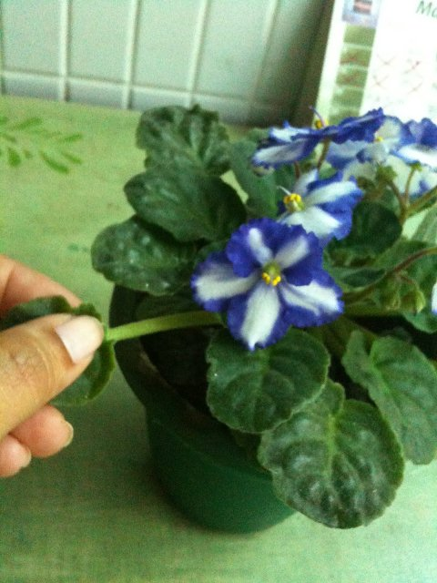 cuidando de violetas