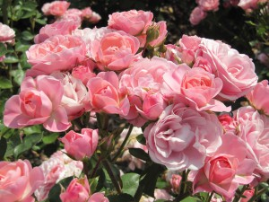 cultivo-rosa