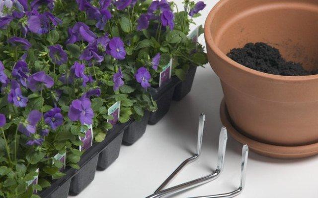 plantando violetas