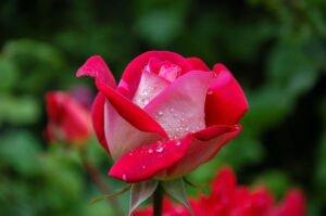 reproducao-rosas