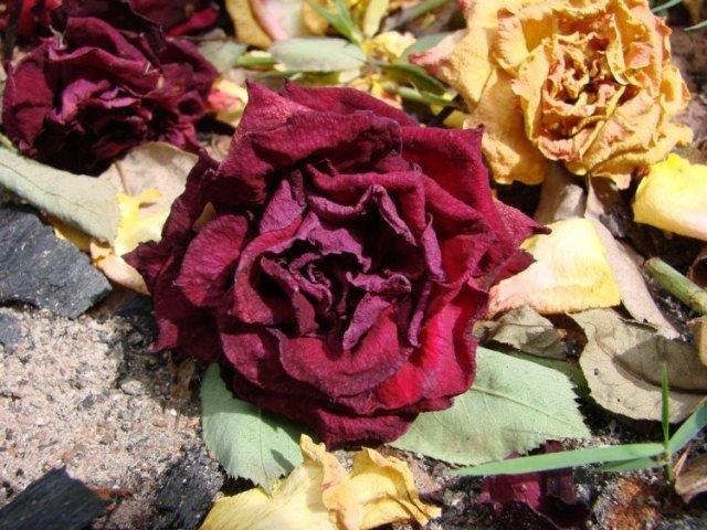 Rosa desidratada
