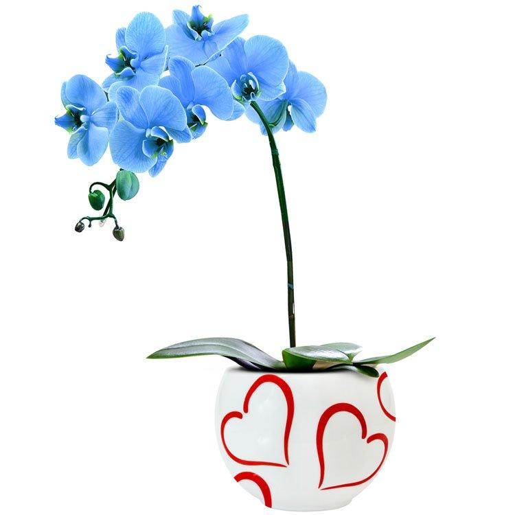 Significado de sonhar com flores azuis: Passione da Orquídea Azul