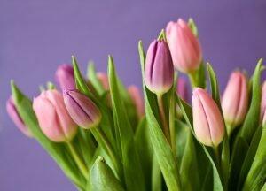 Como cuidar de tulipas rosas