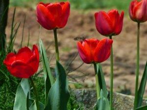 Como cuidar de tulipas - tulipas vermelhas