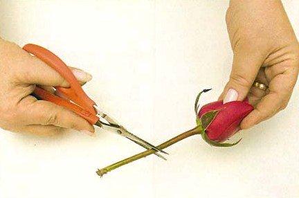 Cuidado com as Rosas Corte na Diagonal