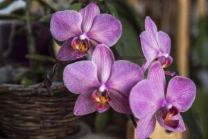 Cuidar de orquídeas - orquídeas roxas