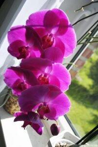 Cuidar de Orquídeas - Cultivar orquídeas em vaso