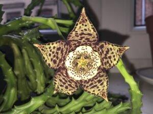 flor-estrela