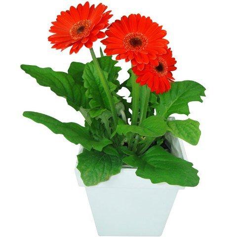 Gérberas vermelhas plantadas