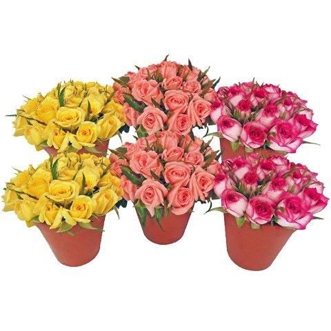 Mini Rosas nos vasos