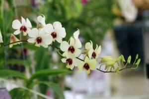 Cuidar de orquídeas - orquideas brancas