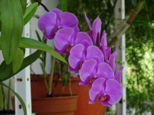 Cuidar de orquídeas - Orquídeas rosas