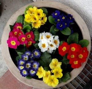 primulas-giuliana-flores
