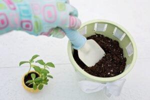 Como cuidar de minirrosas