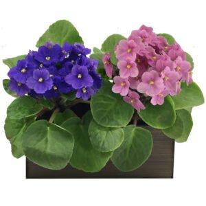 Decoração de Ambientes Pequenos - Dupla de Violetas Mescladas