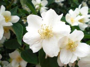 Flores Afrodisíacas - Jasmin