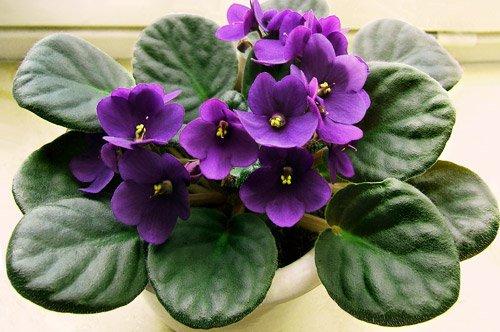 como-cuidar-de-violetas