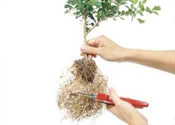 Saiba como deixar o seu bonsai forte e bonito - Como cuidar bonsais ...