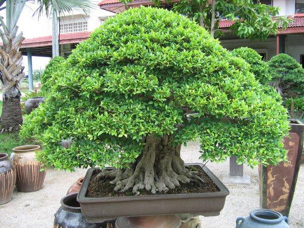 Saiba como deixar o seu bonsai forte e bonito for Como cultivar bonsais