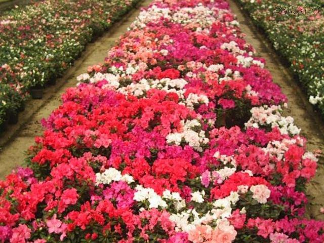 cultivo rosas jardim:Confira as Melhores Dicas de Como Cultivar Azaleias