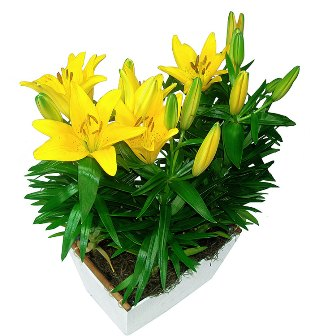 Jardim Lírios Amarelos