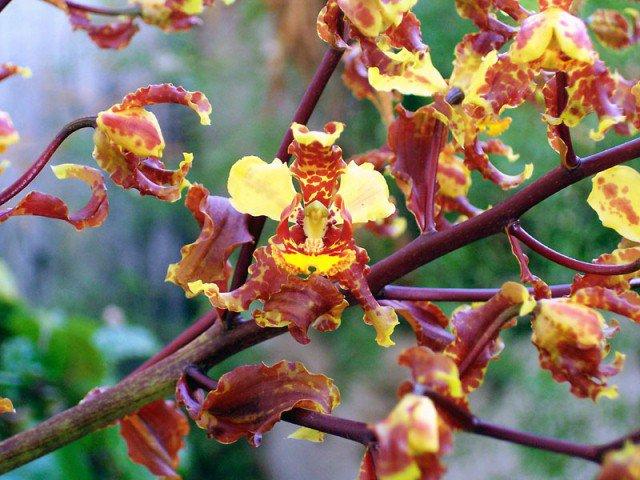 Orquídea Cirtopódium