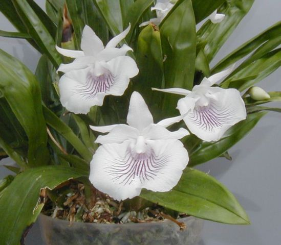 Orquídea Cochleanthes amazonica