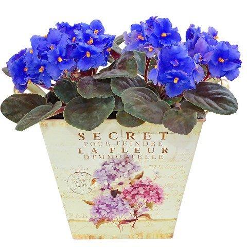 Segredo das Violetas