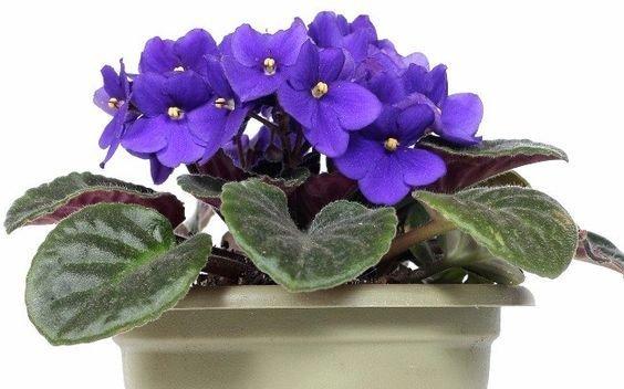cuidar de violetas