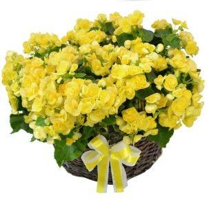 Jardim-de-Begonias-Amarelas - Plantas Em Espaços com Pouca Luz