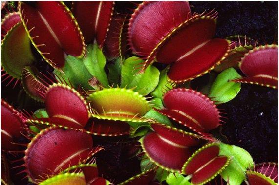Dionéia é uma planta carnívora
