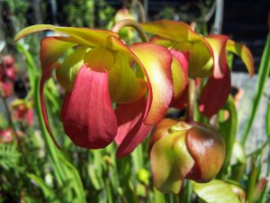 Serracênia é uma planta carnívora que se assemelha a uma cálice